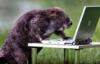 бобр с ноутбуком