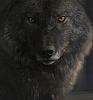 werewolf_dol