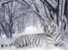 тигрица белая
