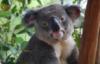 мудрый коал