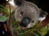 Нежный коал