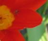 жучок в тюльпане