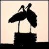 Stork, Laura, аист, лора