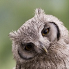 Animals: Sweet owl icon