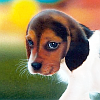 animals - beagle pup