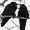 raven lovers