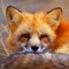 fox_minstrel userpic