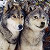 Doge - Wolfdoge
