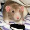 rat_n_oreo