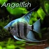 sunray45: Angelfish