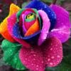 rosepetaldrops userpic