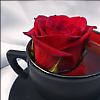 i_will_not_say: Teacup Rose