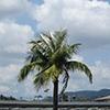 Megana: пальма