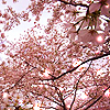 dorchadas: Cherry Blossoms