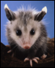 glass_opossum