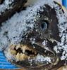 Злая собака: Fish