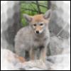 coyoterain userpic