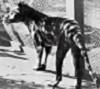 last_thylacine userpic