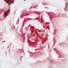 quiescentflower
