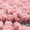 Stock: tulips