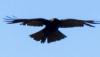 орёл, Eagle