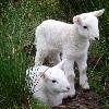 Oshun: lambs