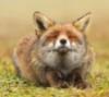 Довольный лис