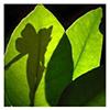Fae Leaf