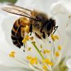 meathiel's bee