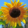 sunray45: Sunflower