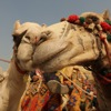 Egypt: Camel love
