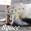 harbor seal pup squee