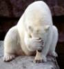 медведь закрывает морду
