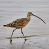 the Welcoming Dork: curlew
