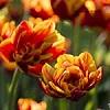 тюльпаны_Петергоф