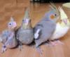 попугаи, питомцы, птицы, австралийский попугай, кореллы
