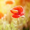 Miltonway: Poppy