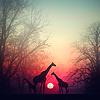 n - Giraffes ❂