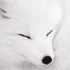 Gen - snow wolf