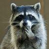 lemurstrateg