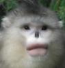 nose_monkey