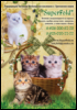 Шотландские вислоухие и Британские кошки