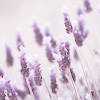 lavendertruffle userpic