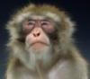 Надменный обезьян