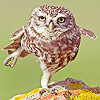 balancing owl
