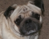 smiling_pug userpic