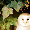 Season: Winter: Snowy Owl