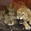 мать-львица