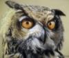 owls_flight