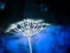 dandelion winter blue